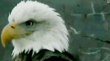Eagle webcam