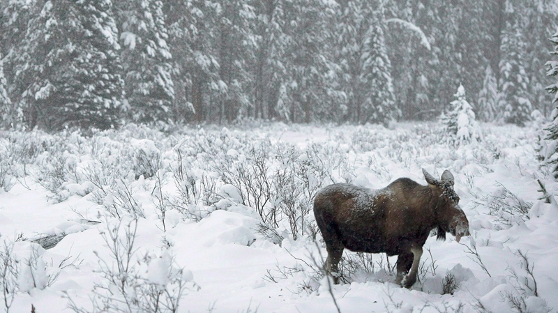 A moose makes its way through a snowy field near Lake Louise, Alta. on November 23, 2012.  (Jonathan Hayward / THE CANADIAN PRESS)