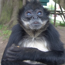 Mia, the spider monkey, has been reported missing from Greater Vancouver Zoo. (Undated photo. Greater Vancouver Zoo for ctvbc.ca)