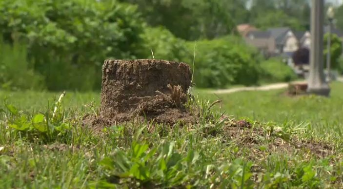 The stump of an ash tree cut down due to the emerald ash borer sits in Kitchener, Ont., on Monday, June 17, 2013.