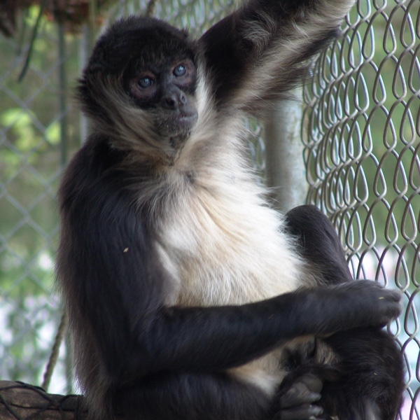 Jocko, the spider monkey, was killed following a break-in at Greater Vancouver Zoo. (Undated photo. Greater Vancouver Zoo for ctvbc.ca)