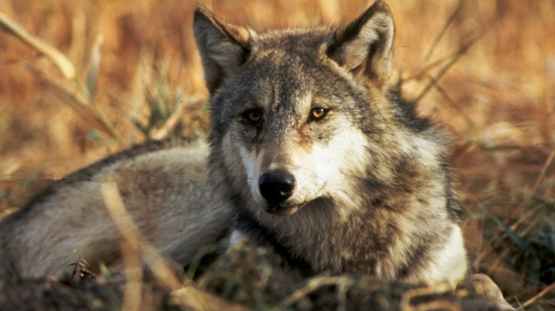 In this undated file photo provided by the U.S. Fish and Wildlife Service a gray wolf is shown.