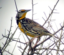 birds under threat of extinction meadowlark