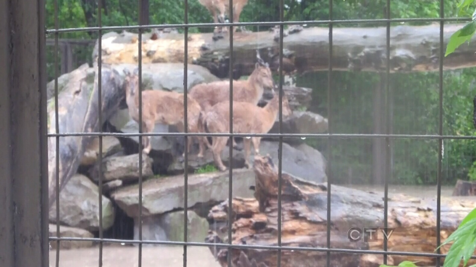 Calgary Zoo CEO announced the zoo will be closed for two weeks because of flood damages, Saturday, June 22, 2013. (CTV Edmonton)