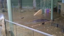 Calgary Zoo flooding - hippo
