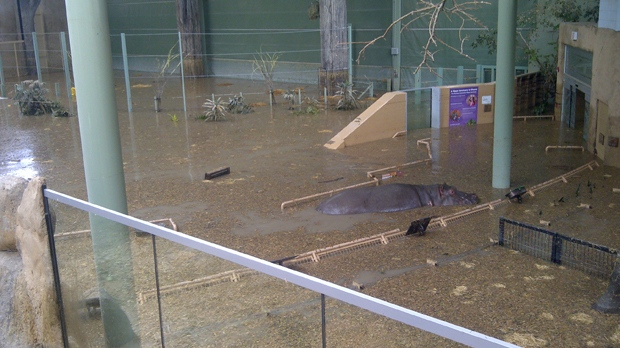 June 23, 2013 photo of Lobi the hippo swimming in the hippopotamus viewing area at the Calgary Zoo after flood waters filled the building (photo courtesy: Calgary Zoo)