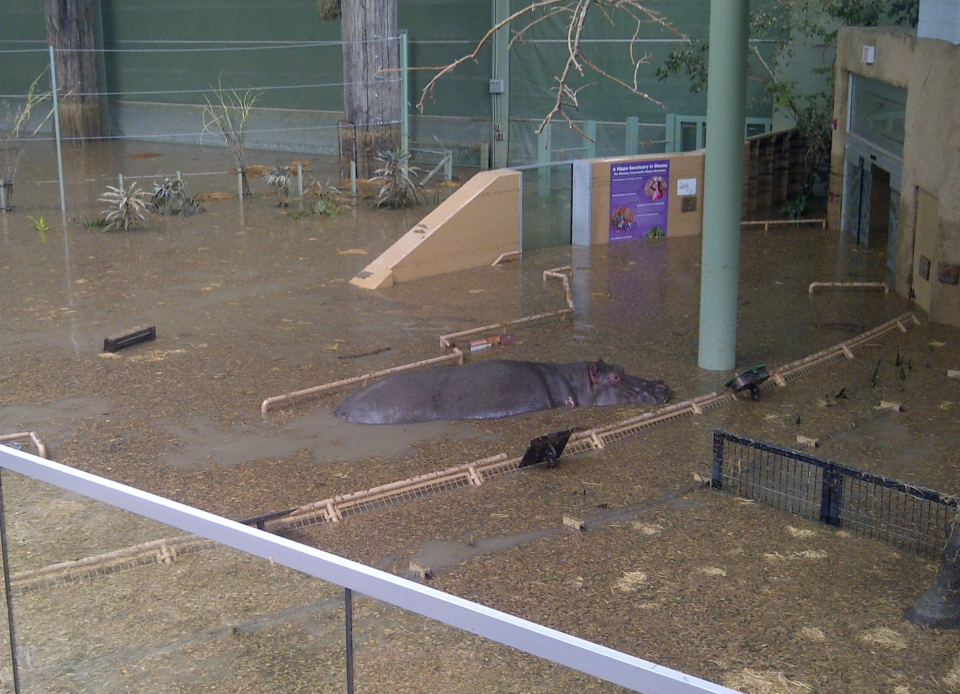 Six-and-a-half-year-old hippo Lobi explores the African Savannah building during flooding on Sunday, June 23, 2013. (Calgary Zoo)