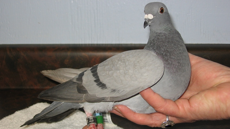 Japanese racing pigeon lands on Vancouver Island