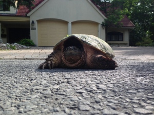 On the way in to the Governor Generals Residence today I found a two Rockcliffe residents guarding a huge snapping turtle that was trying to make its way across a road.   Thanks Beverley and the other Rockcliffe citizens who saved this reptile from certain death. (Kevin Daly / CTV Viewer)