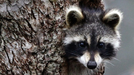 A raccoon peers out from a hole in a tree in a ravine in Moreland Hills, Ohio on Wednesday, April 29, 2009. (AP Photo/Amy Sancetta)