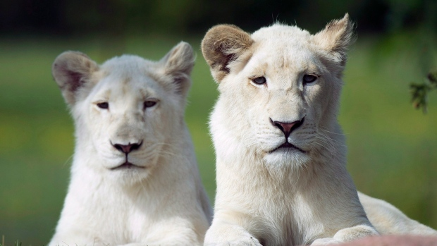 White African lion female cubs Makaili, left, and Lemon rest in the heat at the Toronto Zoo after their names were announced in Toronto on Thursday, August 2, 2012. THE CANADIAN PRESS/Nathan Denette