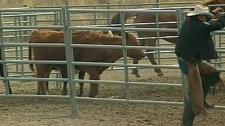 Animals on a ranch were seized after the RCMP received complaints about starving and dying animals in Drumheller, Alta., Thursday, April 21, 2011.