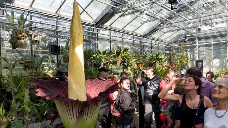 Visitors look at a blooming Titan Arum (amorphophallus titanum), pictured in the botanical garden of the university of Basel, in Basel, Switzerland, Saturday, April 23, 2011. (AP / Keystone, Georgios Kefalas)