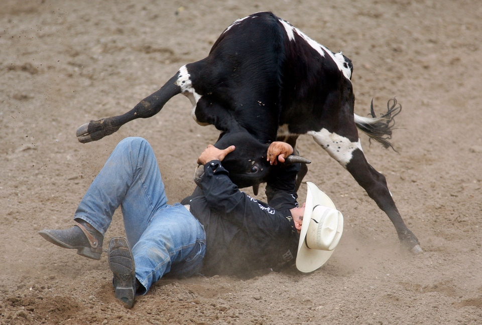 Luke Branquinho, from Los Alamos, Calif., wrestles a steer during rodeo action at the Calgary Stampede on July 5, 2013. (Jeff McIntosh/THE CANADIAN PRESS)