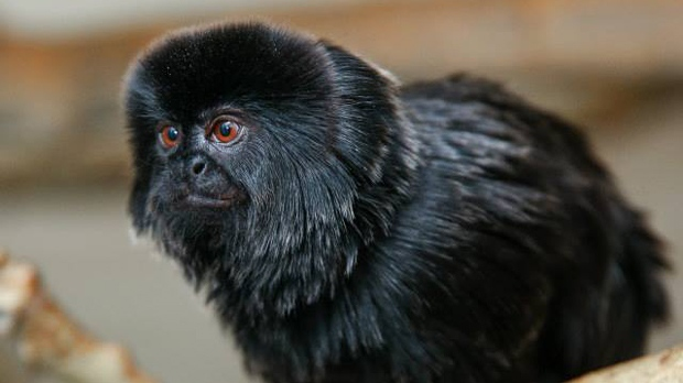 This Goeldi's monkey will find a new home at Safari Niagara (photo courtesy: Sergei Belski)