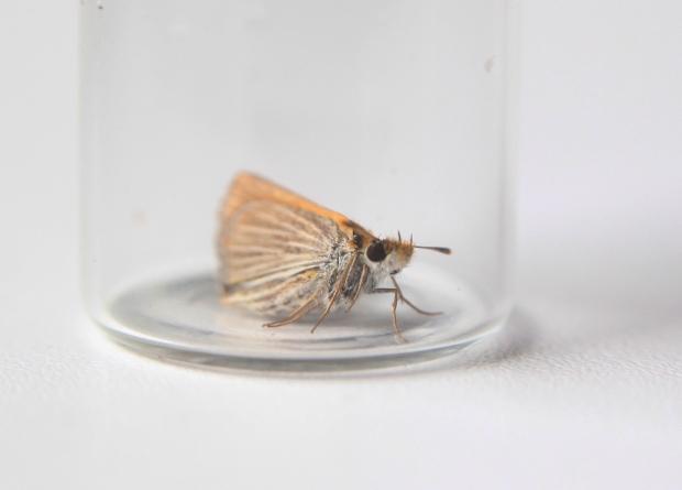 Endangered prairie butterfly