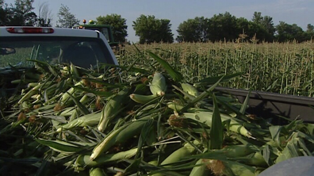 Local bumper crop of sweet corn