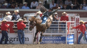 A University of Calgary study suggests horses involved in rodeo events enjoy the competition. (File)