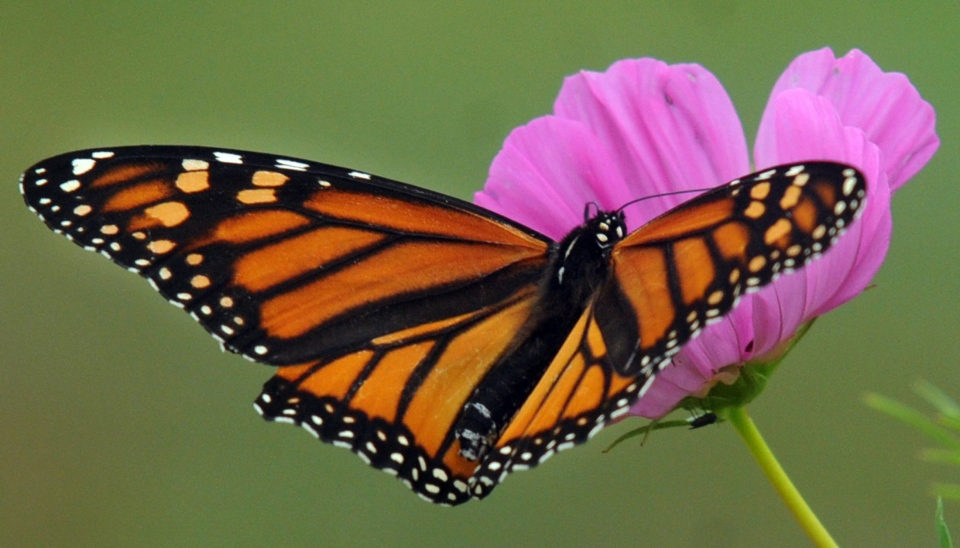 A female monarch butterfly, Danaus plexippus, rests on a flower while eluding the nets of Deer Park Elementary fourth-graders, Wednesday, Sept. 26, 2012. (Messenger-Inquirer / John Dunham)