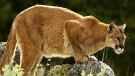 Cougar (file photo)