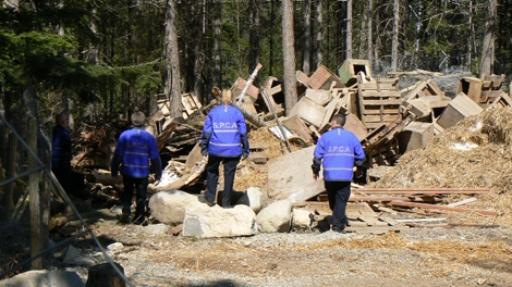SPCA constables will begin exhuming a mass grave allegedly containing the remains of 100 sled dogs near Whistler, B.C. this week. (Lorie Chortyk/BC SPCA)