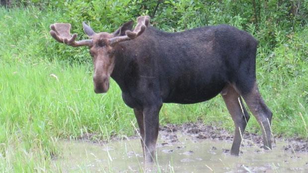 Moose photo by Al Bartlett.