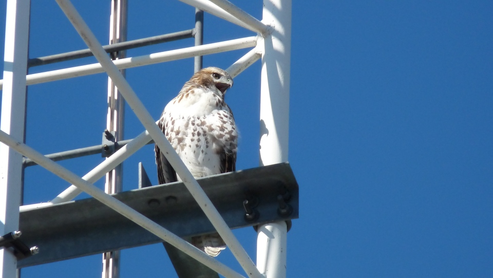 A Red-tailed Hawk perches outside the CTV offices on Communications Road in London, Ont. (Peter Ousey / CTV London)
