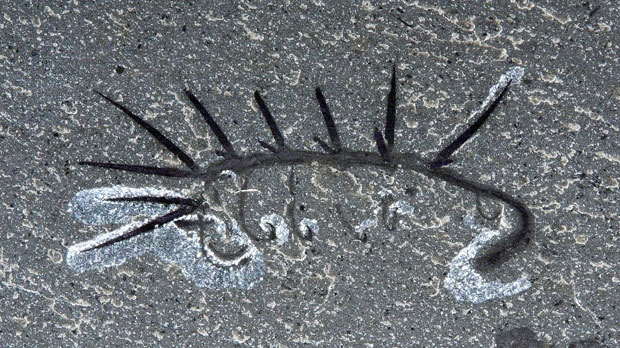 "Hallucigeniais regarded as a member of the ""lobopodans,"" a group of vermiform Cambrian organisms possessing pairs of leg-like extensions of the body. (Photo Courtesy: Parks Canada)"