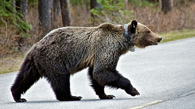 Keeping track of Alberta's bears | CTV News