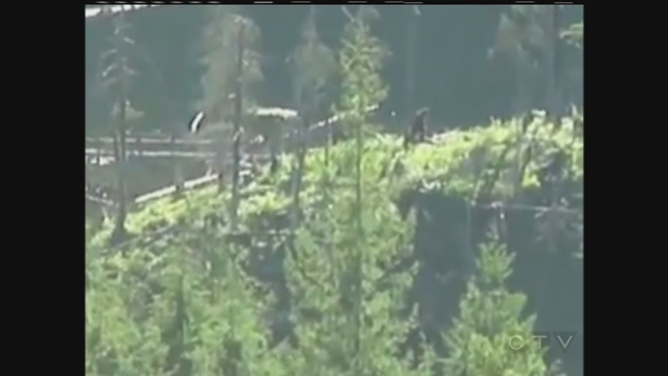 This still image from a video posted on YouTube claims to show the legendary Sasquatch walking through the mountains of Mission, BC. The video has been viewed over 1 million times in the past week. (Source: LegendTracker / YouTube)