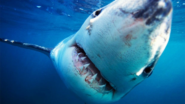 Great White Shark (Carcharodon carcharias) photographed off South Africa. (Discovery Canada, DCL)