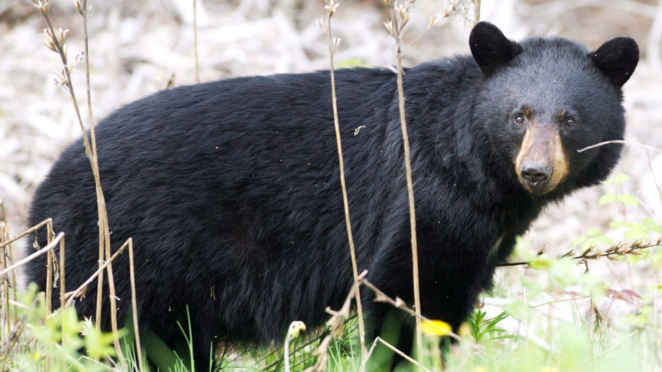 A black bear is pictured in a May 27, 2012 file photo. (Nathan Denette / THE CANADIAN PRESS)