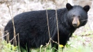 A black bear is pictured on May 27, 2012. (Nathan Denette / THE CANADIAN PRESS)