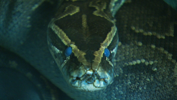 African rock python thought to have killed boys
