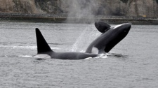 A pod of killer whales was spotted in Burrard Inlet on May 11, 2011. The transient whales splashed around near the Lions Gate Bridge before leaving the inlet.