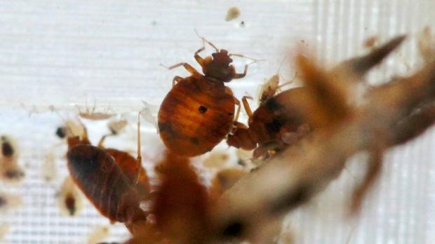 Bedbugs On Vancouver Island
