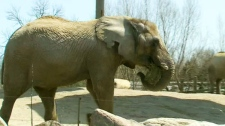 An elephant is seen at the Toronto Zoo on Thursday, May 12, 2011.