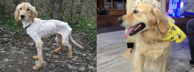 Trooper the golden retriever is seen in 2010 after being brought to the SPCA, and in August 2013. (CTV)