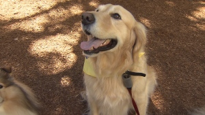 A golden retriever is shown in this file photo.