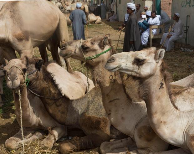 Camels rest in Birqash, Egypt