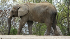 Thika, one of the Toronto Zoo's three remaining elephants, walks around it's enclosure on Thursday May 12, 2011. The Toronto Zoo voted to relocate its three aging elephants Thursday but some critics argue the decision to move them to another zoo instead of an animal sanctuary is the wrong choice. (Pat Hewitt / THE CANADIAN PRESS)