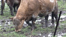 The wet weather has created muddy conditions on many farms in the area.