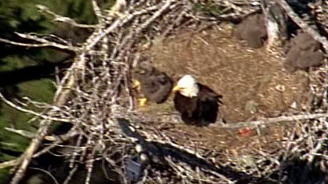 The Vancouver Island eagle nest where a young eaglet is caught in a piece of line.  May 17, 2011. (CTV)