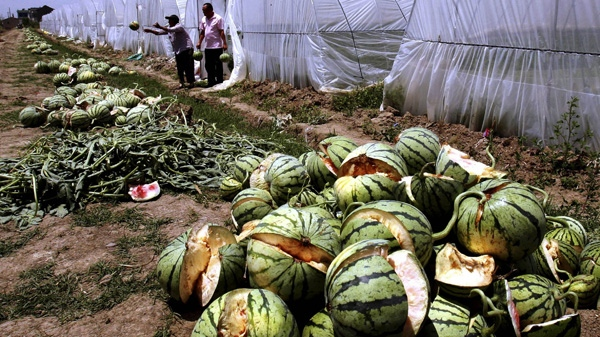 In this May 13, 2011 photo, farmers clear burst watermelons from their rented greenhouse in Danyang city in eastern China's Jiangsu province. (AP Photo)
