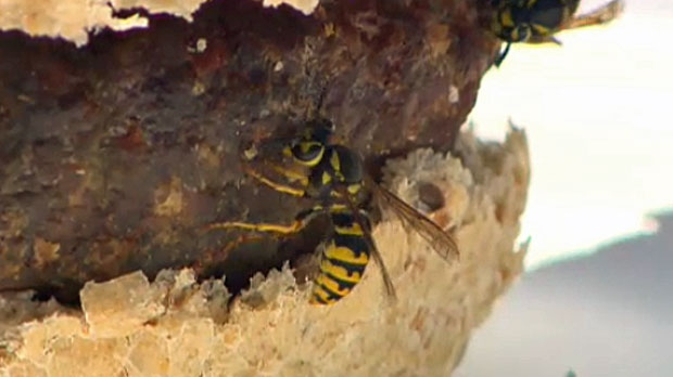 Wasps are annoying this time of year but are actually good for your garden.