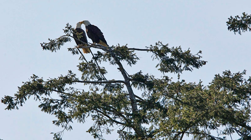 The parent eagles perch near their nest near Sydney, B.C., as an eaglet from their brood is rescued from a entanglement in fishing line Thursday, May 19, 2011. (Chad Hipolito / THE CANADIAN PRESS)
