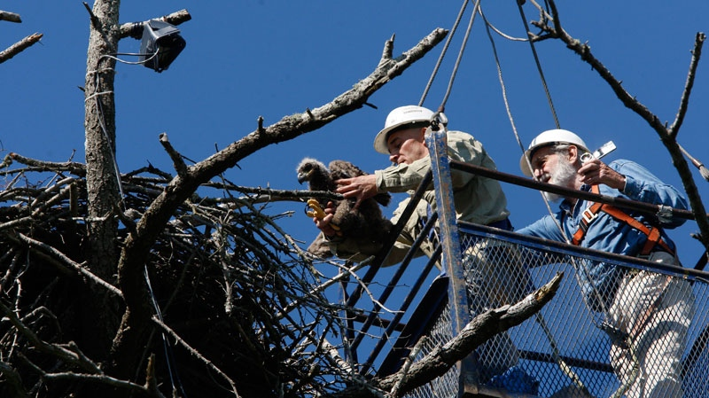 Alternative Wildlife Solutions Wildlife Specialist Jeff Krieger, left, handles the five-week old eaglet which was entangled in fishing line as Dave Hancock, founder of Hancock Wildlife Foundation, films the rescue near Sidney, B.C., Thursday, May 19, 2011. (Chad Hipolito / THE CANADIAN PRESS)