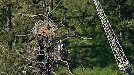 Rescuers free eaglet, Flyer, using a crane and bucket, May 19, 2011. (CTV)