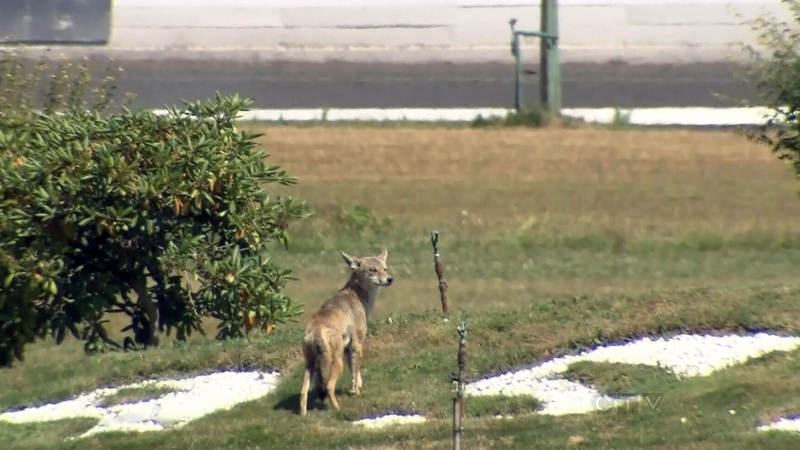 CTV BC: Coyote makes a home at horse track