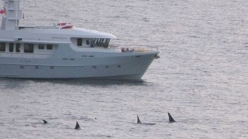 The Amnesia IV yacht is seen approaching a pod of killer whales off the coast of Quadra Island on Aug. 15, 2013. (Courtesy: The Campbell River Courier Islander)